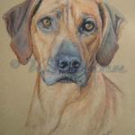 Ridgeback - Pastel Pet Portrait artist.katerosten-art.com